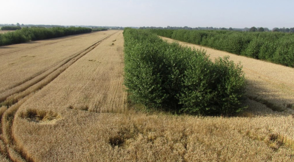 Agroforstsystem mit Pappeln und Getreide