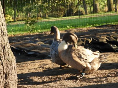 Enten Aßmann
